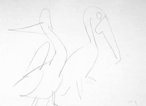 Pelicans: Melbourne Zoo